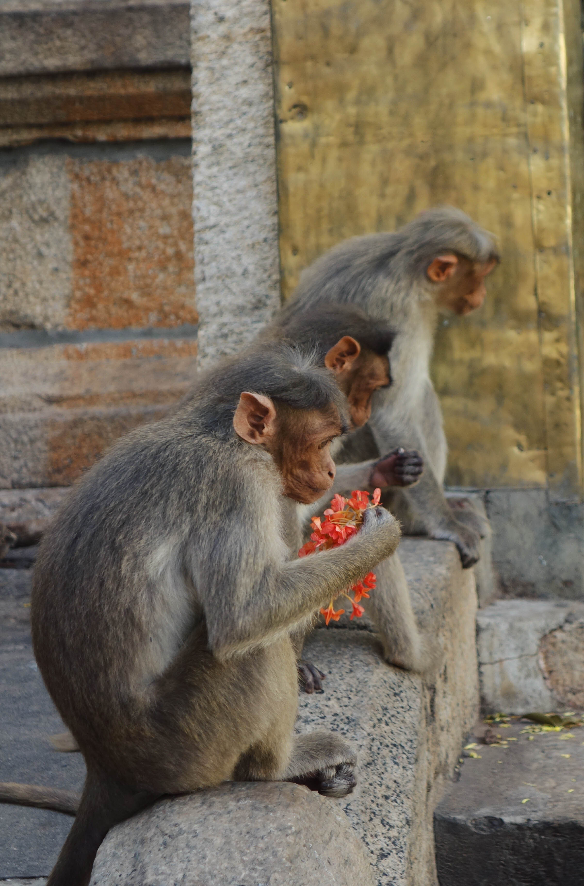 monkeys-sri-yoganarasimha-swamy-temple